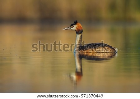 Great crested grebe (podiceps cristatus) floating on water lake.  #571370449