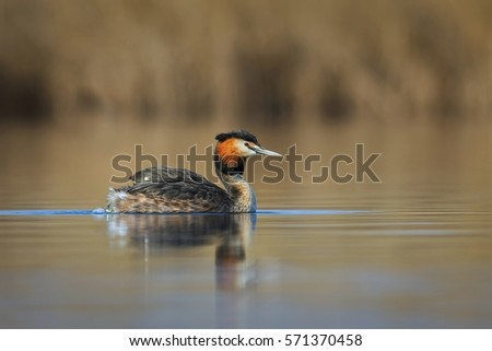 Great crested grebe (podiceps cristatus) floating on water lake.  #571370458