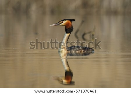 Great crested grebe (podiceps cristatus) floating on water lake.  Grebe with reflection in water. #571370461