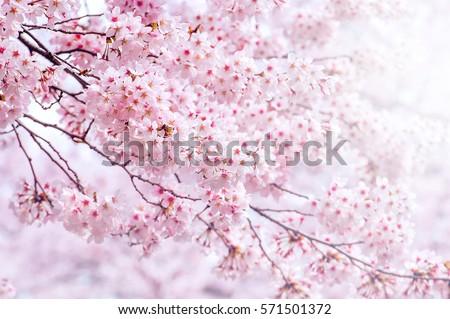 Cherry Blossom in spring with Soft focus, Sakura season in korea,Background. #571501372