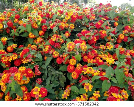 Yellow and red flowers with green leaves in the garden of the park #571582342