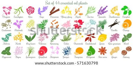 Big vector set of 44 flat style essential oil plants. Ylang-ylang, eucalyptus, jasmine, rose, cedar, lavenda, sandalwood, patchouli etc. For cosmetics, spa health care aromatherapy homeopathy Ayurveda #571630798