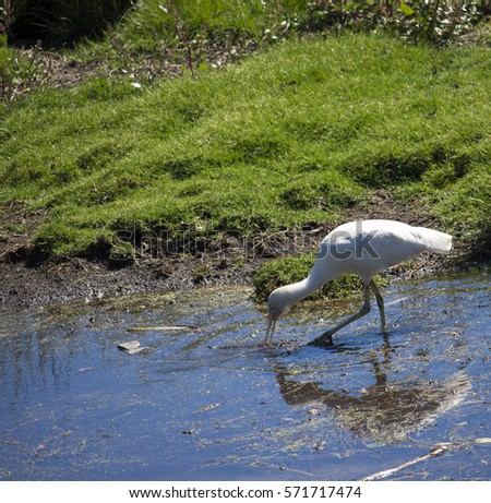 Majestic Australian Platalea flavipes yellow billed  royal spoonbill standing in the cool water of the blue  lake  fishing at Big Swamp Bunbury Western Australia on a fine sunny afternoon in summer. #571717474