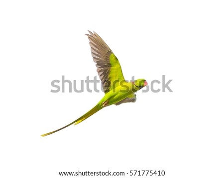 Alexandrine Parakeet (Psittacula eupatria ) bird flying on isolated background. #571775410