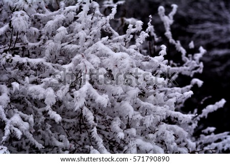 Snowy tree. Beautiful winter forest nature landscape. Branches of trees covered in white clean Snow. Winter park in snow.  Frosty spruce trees in snow isolated on white. Winter landscape.  #571790890