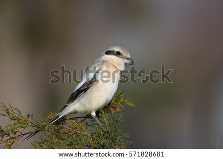 Steppe Grey Shrike (lanius meridionalis pallidirostis)  perched on a bush against a blurred natural background, Andalusia, Spain #571828681