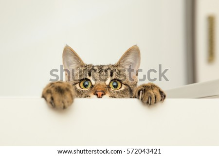 a young cat curiously peeking out from behind the white background #572043421