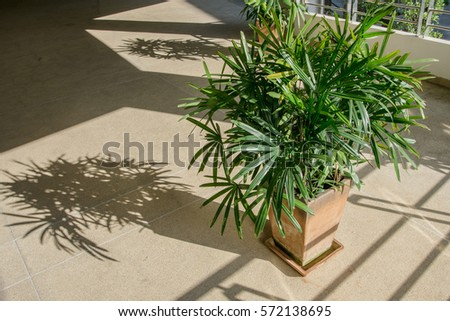 Green lady palm or Bamboo with shadow on brown floor rough (Rhapis exclesa, PLAMAE) #572138695