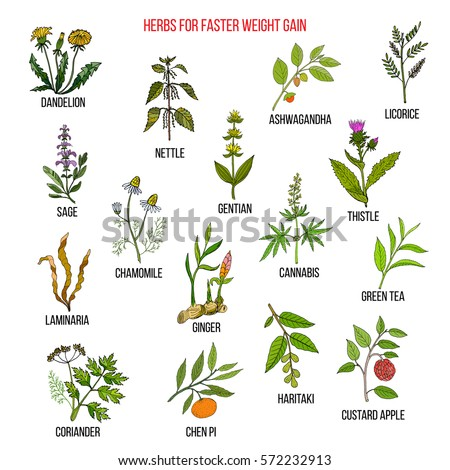 Best herbs for faster weight gain. Hand drawn set of medicinal herbs #572232913