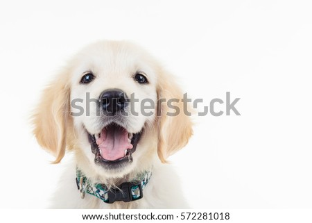 happy panting golden labrador retriever puppy dog with mouth open,  closeup picture