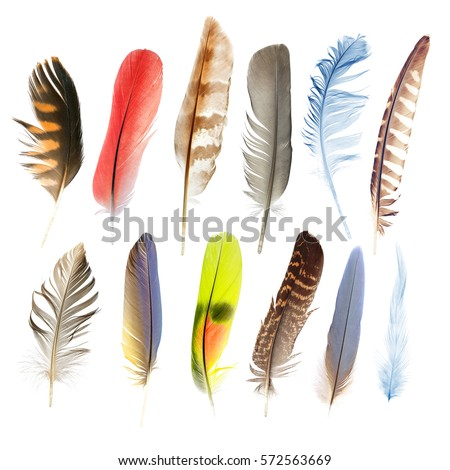 collection pen feathers of birds, isolated on white background Royalty-Free Stock Photo #572563669