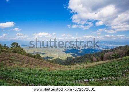 strawberry farm's with blue sky. #572692801
