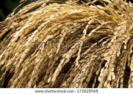 Paddy rice fields, Thailand  #572828968