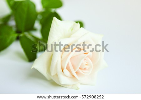 white rose on a light background #572908252