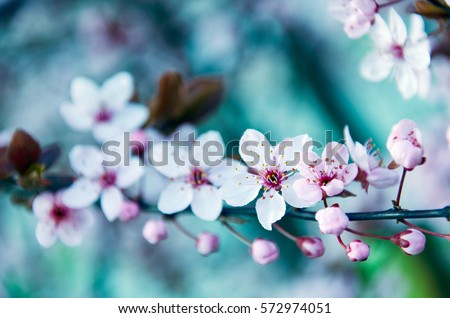 Plum tree blossoms in spring #572974051