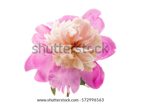flower pink peony on a white background #572996563
