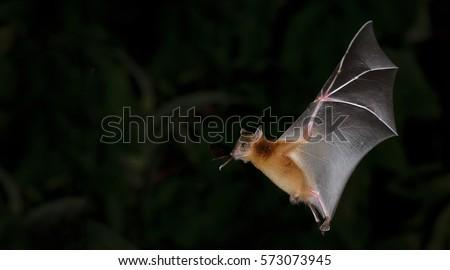 Bat, Greater Shortnosed Fruit Bat flying at night.  Royalty-Free Stock Photo #573073945