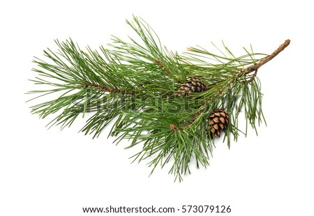 Pine tree branch and cones isolated on white Royalty-Free Stock Photo #573079126