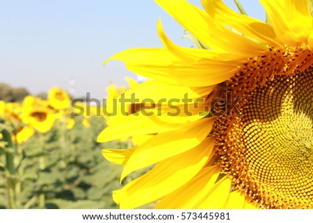sunflowers in field,yellow flower background,beautiful landscape,nice holiday, flower in garden, romantic view, park, summer season, sunny day #573445981