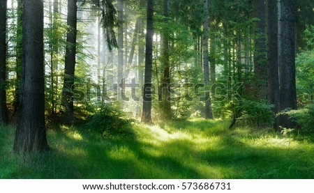 Natural Forest of Spruce Trees, Sunbeams through Fog create mystic Atmosphere Royalty-Free Stock Photo #573686731
