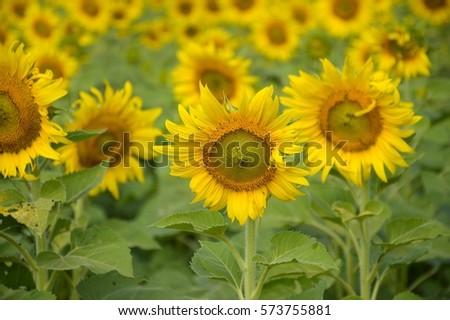 sunflower in nature garden #573755881
