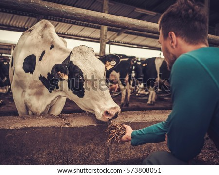Young farmer feeding cow in the cowshed in dairy farm #573808051