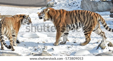 Discussion of  Siberian Tiger (Panthera tigris altaica)  couple #573809053