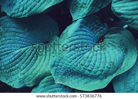 blue blue huge leaf plant close up photo