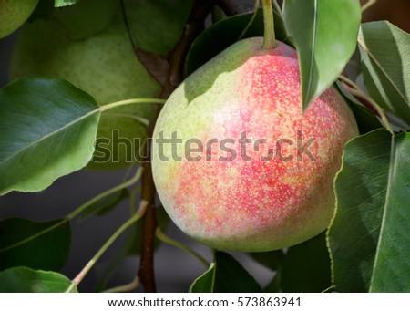 In the garden on the branches of a tree hanging large ripe pears. Presents closeup. #573863941