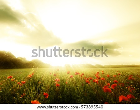 Field of poppies flowers on a sunset.Wild poppies landscape #573895540