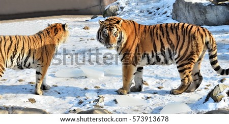 End of discussion of  the Siberian Tiger (Panthera tigris altaica)  couple #573913678