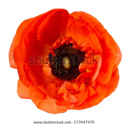Flower head. Poppy. Red anemone isolated on white background