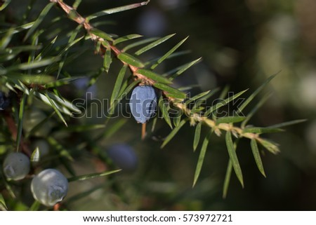 Common Juniper (Juniperus communis) branches with juniper berries.  #573972721