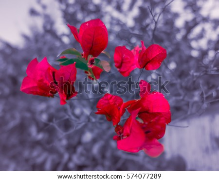 Redberry Rose Tree #574077289
