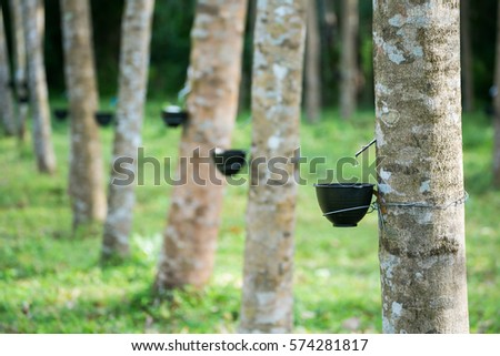 Tapping latex from a rubber tree. Thailand (Selective Focus) #574281817