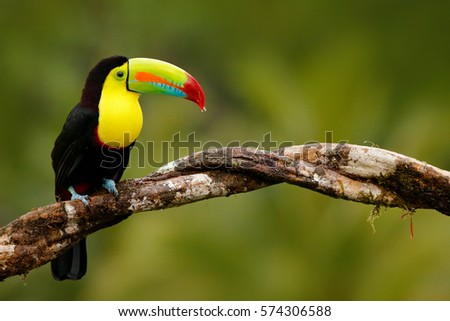 Keel-billed Toucan, Ramphastos sulfuratus, bird with big bill, sitting on the branch in the forest, Panama. Nature travel in central America. Birdwatching in tropical mountain forest.