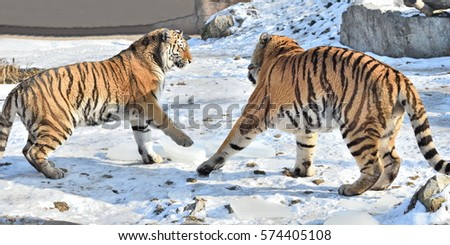 Winter play of a pair of Siberian Tigers (Panthera tigris altaica) #574405108