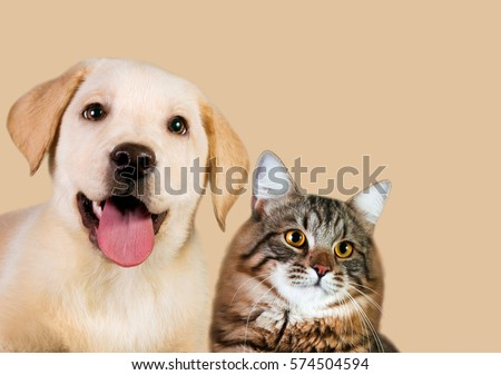 Cat and dog, siberian kitten , golden retriever looks at right #574504594