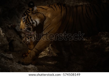 Tiger in a beautiful nature habitat, Ranthambhore National Park in India, panther tigris tigris, tiger from the darkness, low key