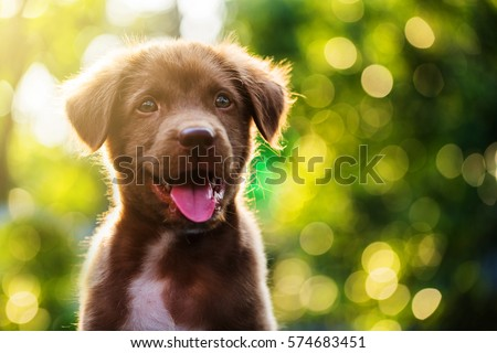 Cute Brown smile happy Labrador retriever puppy against foliage sunset light bokeh background. Adorable head shot portrait with copy space to add text. 2018 year of dog in Chinese calendar. Royalty-Free Stock Photo #574683451