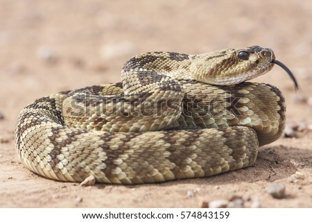 Crotalus molossus is a venomous pit viper species found in the southwestern United States and Mexico. Common names: black-tailed rattlesnake, green rattler, Northern black-tailed rattlesnake. #574843159