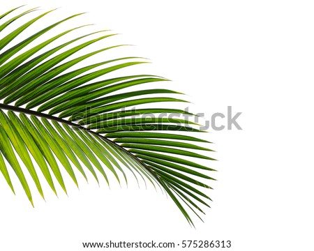 palm leaves isolated on white background #575286313
