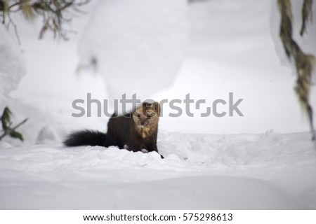 Sable on a background of snowdrifts Russia #575298613