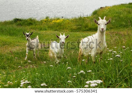 Green living three naïve goat kids in the grass. #575306341