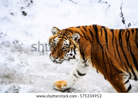 Beautiful Amur tiger on snow. Tiger in winter forest #575334952