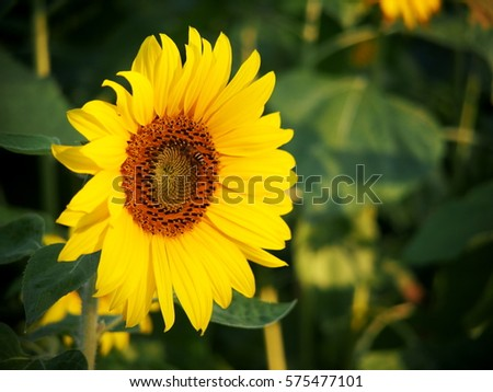 c;ose-up on large size beautiful cute fresh yellow bright sunflower on a hill in countryside under morning sunlight with blur garden background #575477101