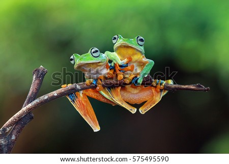 Tree frog on branch, two fly frog sitting on branch, javan tree frog on branch #575495590