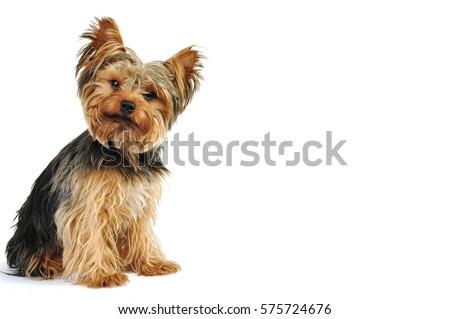 Yorkshire Terrier in White Studio #575724676