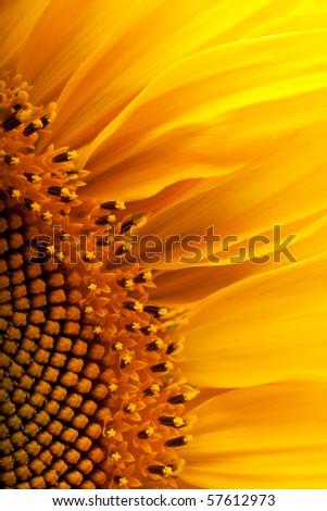 The beautiful sunflower against a blue sky #57612973