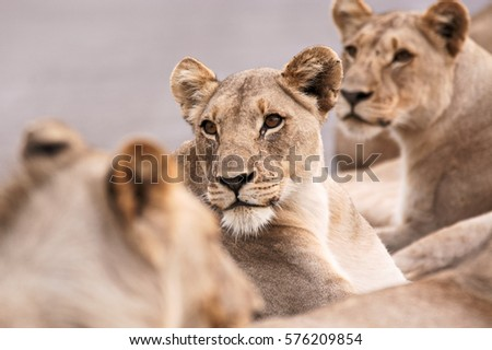 Lioness with other members of her pride looking intently at potential prey passing nearby #576209854